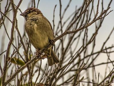 sparrow-2069916_960_720